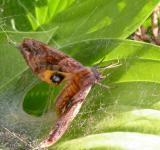 Free Photo - Moth stuck in spiderweb