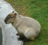 Free Photo - Capybara - world\'s biggest rodent