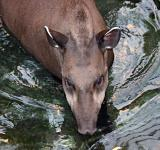 Free Photo - Brazilian tapir in water