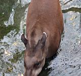 Free Photo - Brazilian tapir walking in water