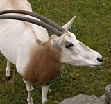 Free Photo - Scimitar-horned oryx