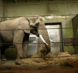 Free Photo - Elephant in cage