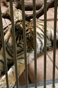 Tiger in cage - Free Stock Photo