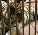 Free Photo - Tiger in cage