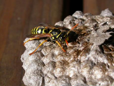 Wasp - Free Stock Photo