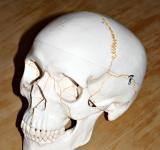 Free Photo - Plastic skull