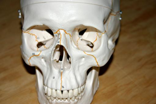 Plastic skull - Free Stock Photo