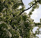 Free Photo - Tree with white flowers