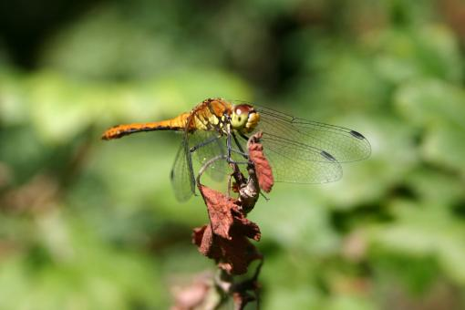 Dragon Fly - Free Stock Photo