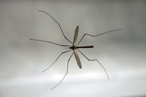 Crane Fly - Free Stock Photo