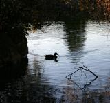 Free Photo - Swimming duck