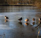 Free Photo - Ducks on a frozen pond