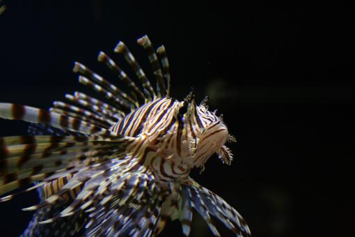 Tropical tiger fish - Free Stock Photo