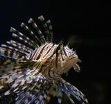 Free Photo - Tropical tiger fish