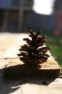Download Pine Cone Free Photo