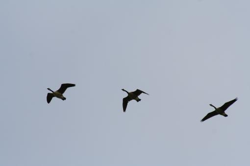 Three flying geese - Free Stock Photo