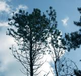 Free Photo - Pine trees against the sky
