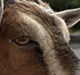 Free Photo - Goat closeup