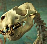 Free Photo - Sealion skeleton