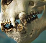 Free Photo - Sealion skull