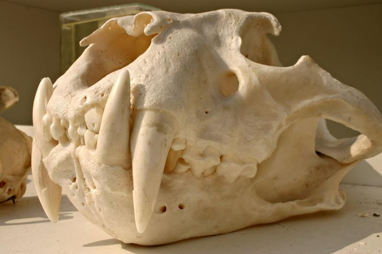 Free Stock Photo of Tiger skull Created by Bjorgvin
