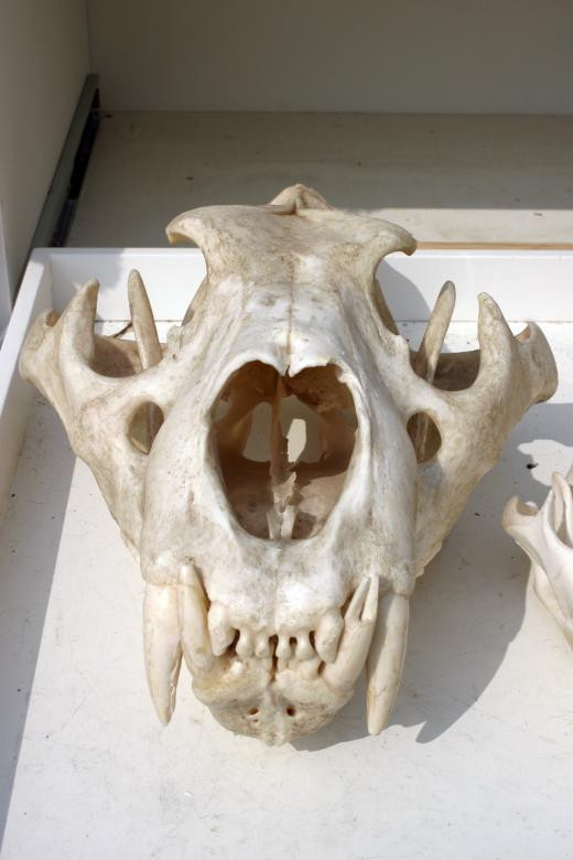 Free Stock Photo of Lion skull Created by Bjorgvin