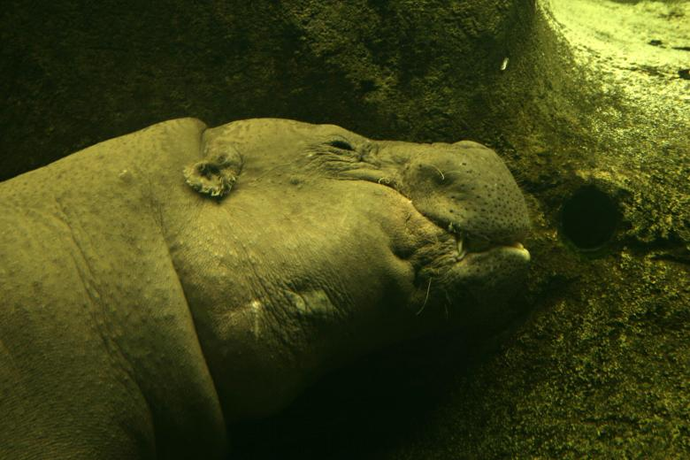 Free Stock Photo of Hippo underwater Created by Bjorgvin