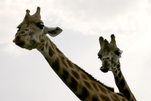 A pair of giraffes - Free Stock Photo