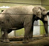 Free Photo - Fully grown elefant