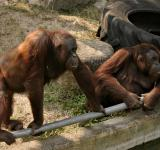 Free Photo - Two orangutans