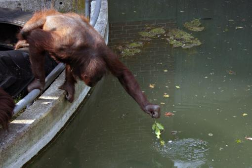 Orangutan stretching for food - Free Stock Photo