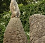Free Photo - Meerkat on guard