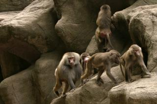 Download Primates Free Photo
