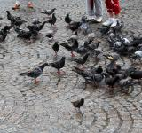Free Photo - Pigeons