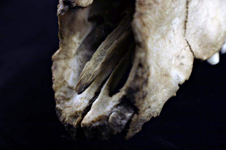Free Stock Photo of Sheep skull Created by Bjorgvin