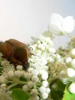 Beatle eating a flower - Free Stock Photo
