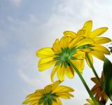 Yellow flowers - Free Stock Photo