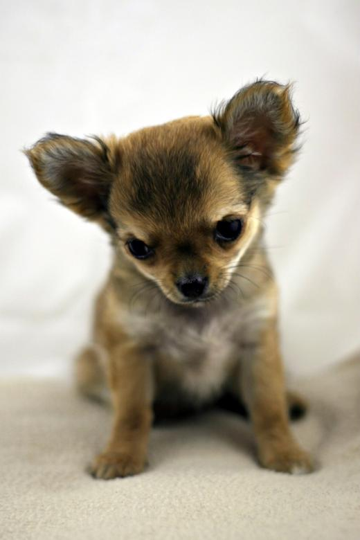 Free Stock Photo of Chihuahua Created by Bjorgvin
