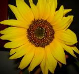 Free Photo - Sunflower