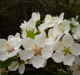 Free Photo - Plum tree in bloom