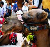 Free Photo - Petra Camel 3