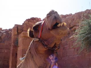 Petra Camel 2 Free Photo