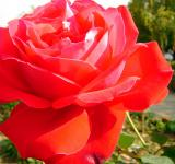 Free Photo - Red rose macro