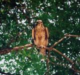 Free Photo - Florida Chicken Hawk