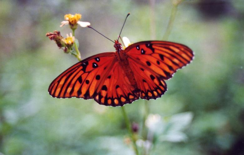 Free Stock Photo of Orange Butterfly Created by angela wilson