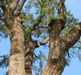 Free Photo - Oak Tree Closeup