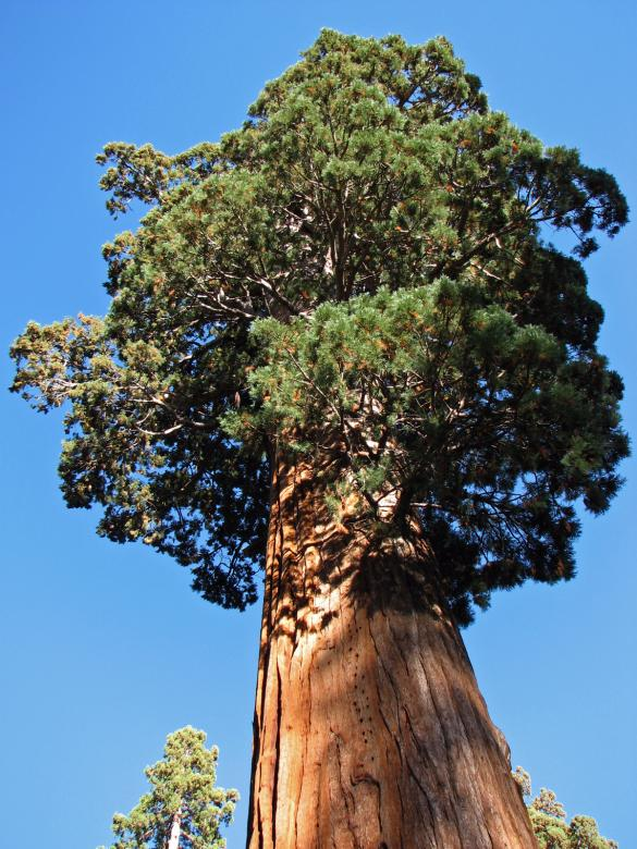 Free Stock Photo of Giant Redwood in Sequoia National Park Created by j. l. johnson