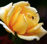 Free Photo - Yellow rose