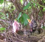 Free Photo - ROBIN BABIES