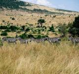 Free Photo - Five Zebras